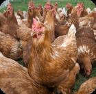 s-chicken